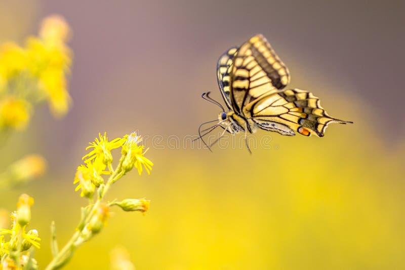 Vliegende Oude Wereld swallowtail vlinder royalty-vrije stock foto