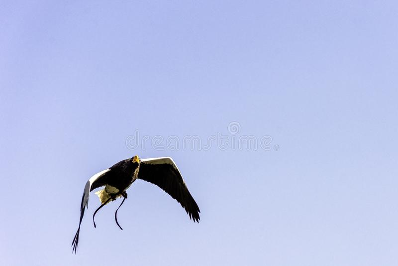Vliegende overzeese van Steller adelaar royalty-vrije stock foto's