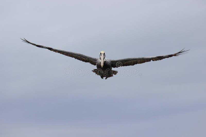 Vliegende pelikaan royalty-vrije stock afbeeldingen