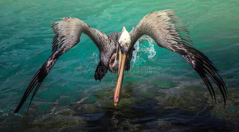 Vliegende pelikaan royalty-vrije stock foto's