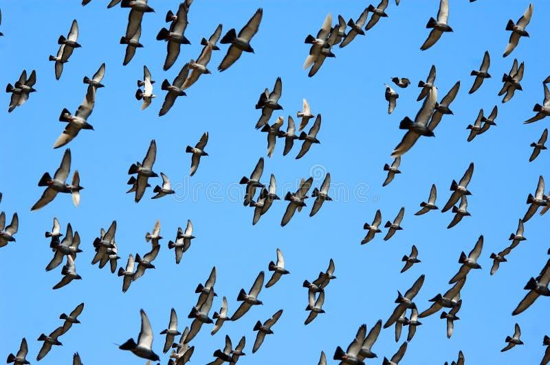 Vliegende postduif stock fotografie