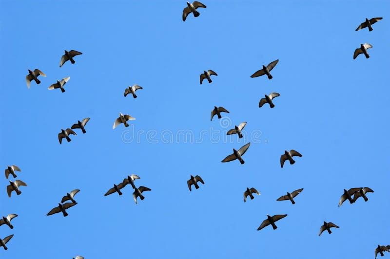 Vliegende postduif royalty-vrije stock fotografie