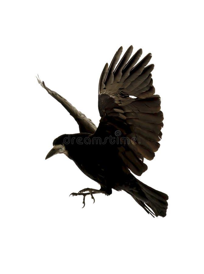 Vliegende raaf royalty-vrije stock fotografie