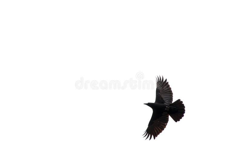 Vliegende raaf op een witte achtergrond stock foto