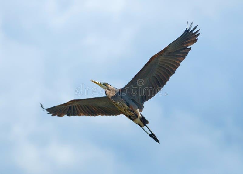 Vliegende Reiger royalty-vrije stock afbeelding