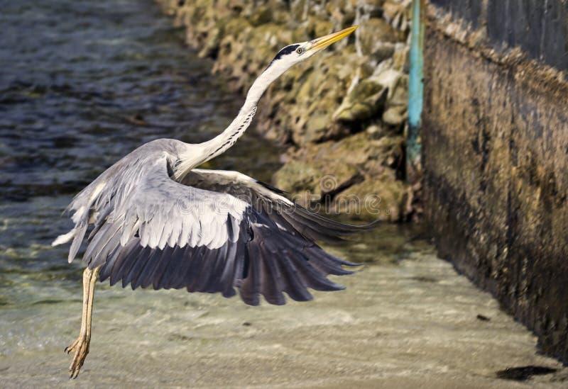 Vliegende reiger op de overzeese kust royalty-vrije stock afbeelding