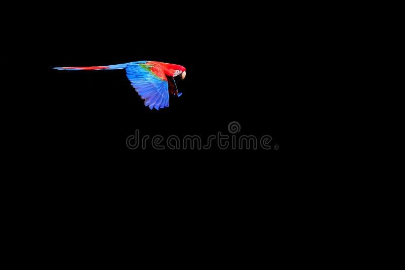Vliegende Rode en Groene Ara, Ara Chloropterus, Buraco Das Araras, dichtbij Boniter, Pantanal, Brazilië stock foto's