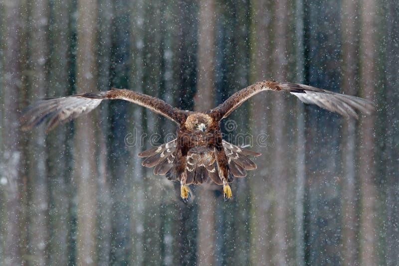 Vliegende roofvogels gouden adelaar met grote draagwijdte, foto met sneeuwvlok tijdens de winter, donker bos op achtergrond Het w royalty-vrije stock fotografie