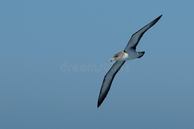Vliegende Shearwater van Cory royalty-vrije stock foto