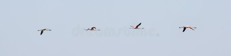 Vliegende troep van vier aardige roze grote vogels Grotere Flamingo's, Phoenicopterus ruber, met duidelijke blauwe hemel De vluch stock foto