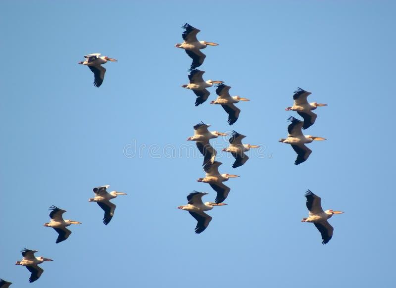 Vliegende troep van vogel stock foto's