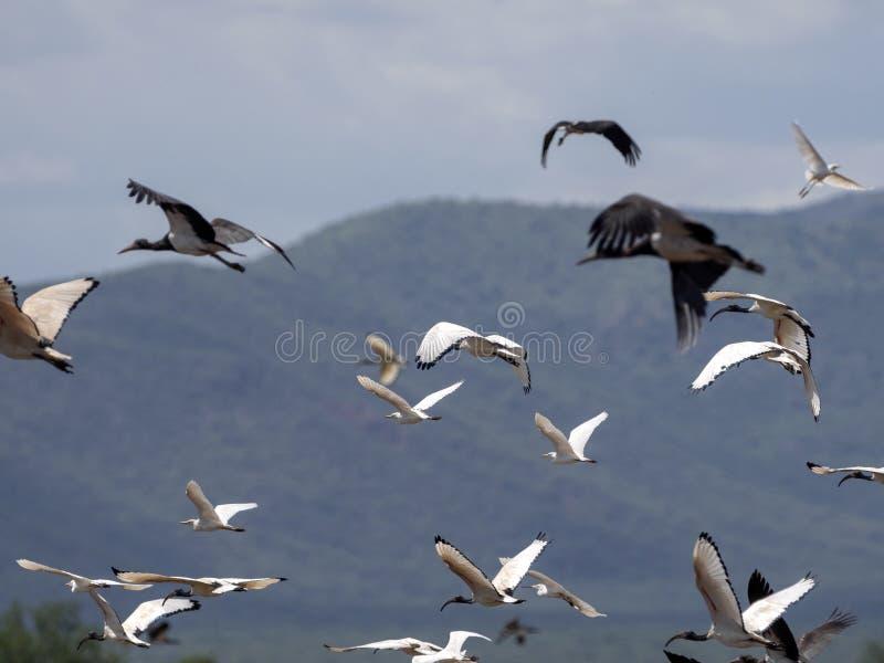 Vliegende troep van vogels, Ethiopië royalty-vrije stock foto