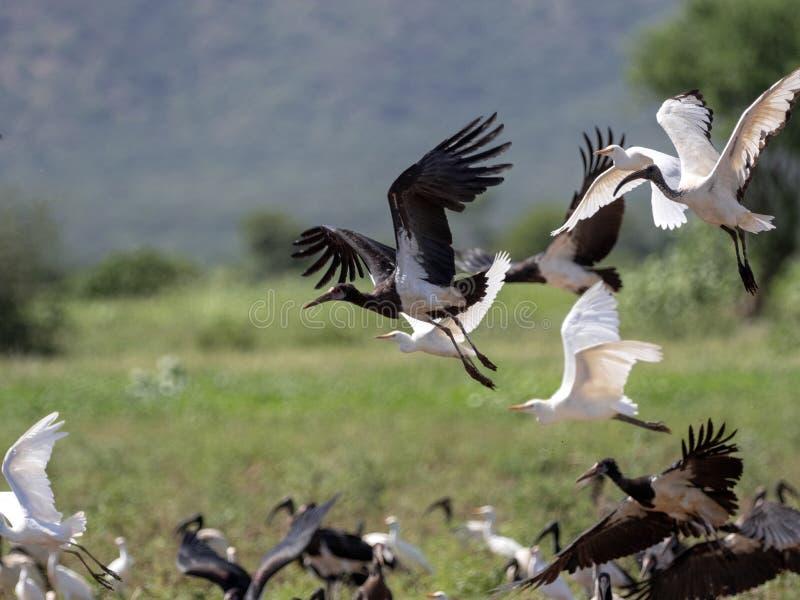 Vliegende troep van vogels, Ethiopië stock afbeelding