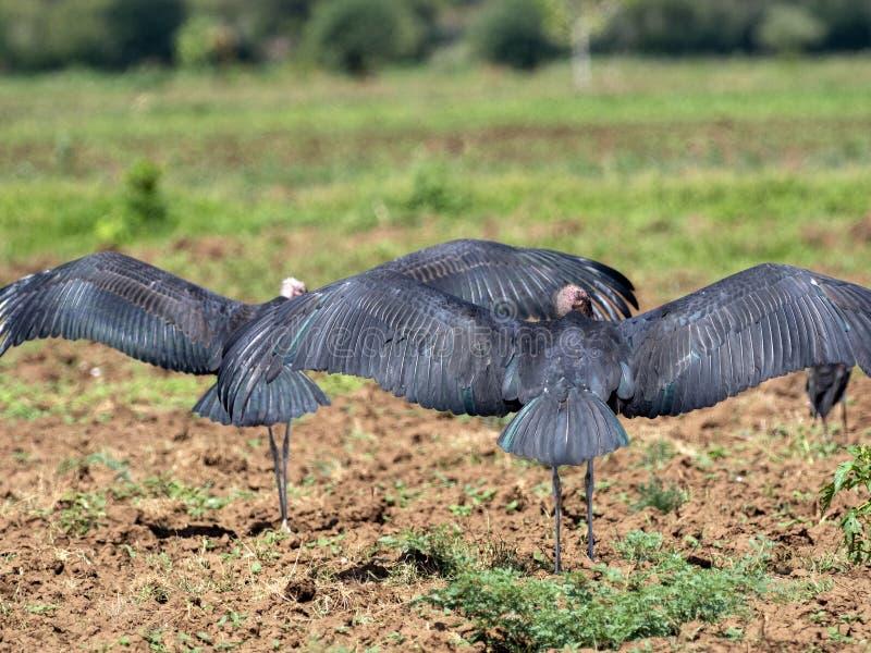 Vliegende troep van vogels, Ethiopië royalty-vrije stock fotografie