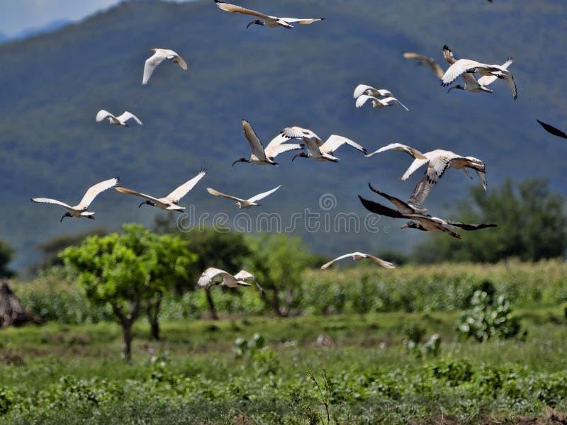 Vliegende troep van vogels, Ethiopië stock fotografie
