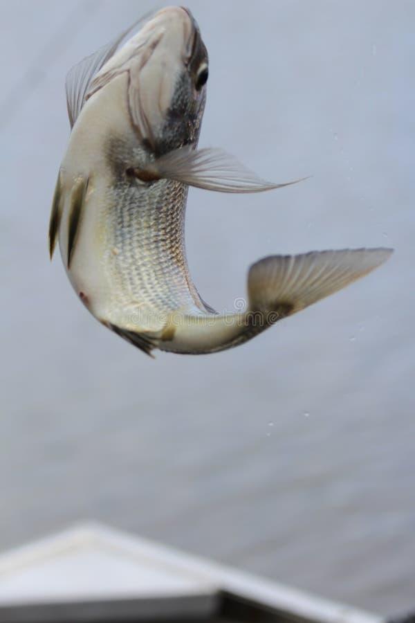 Vliegende vissen royalty-vrije stock foto