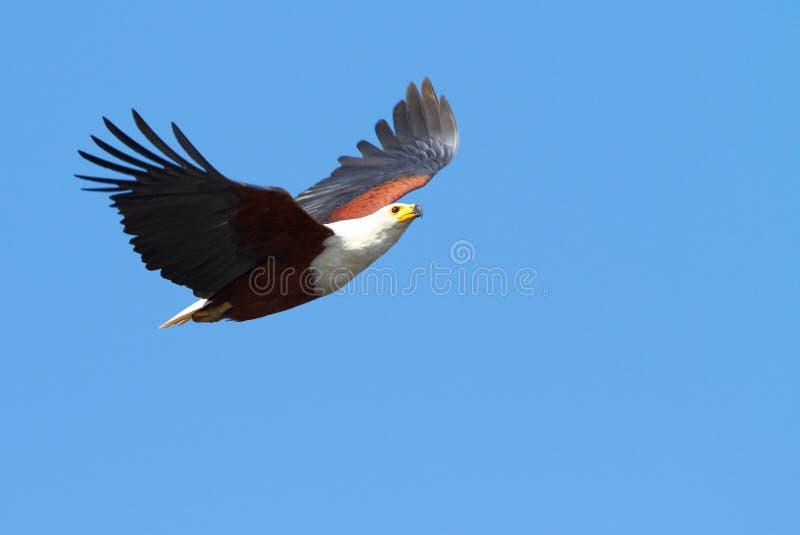 Vliegende Vissen Eagle royalty-vrije stock afbeeldingen