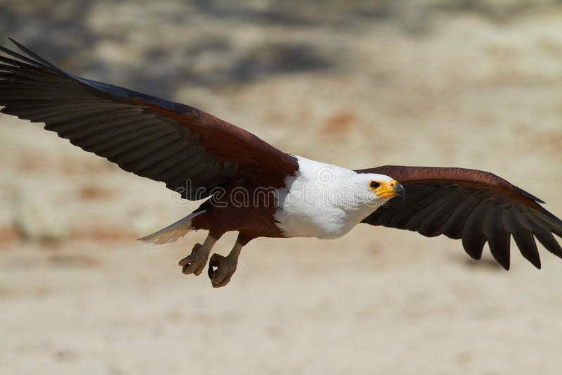 Vliegende Vissen Eagle royalty-vrije stock foto's