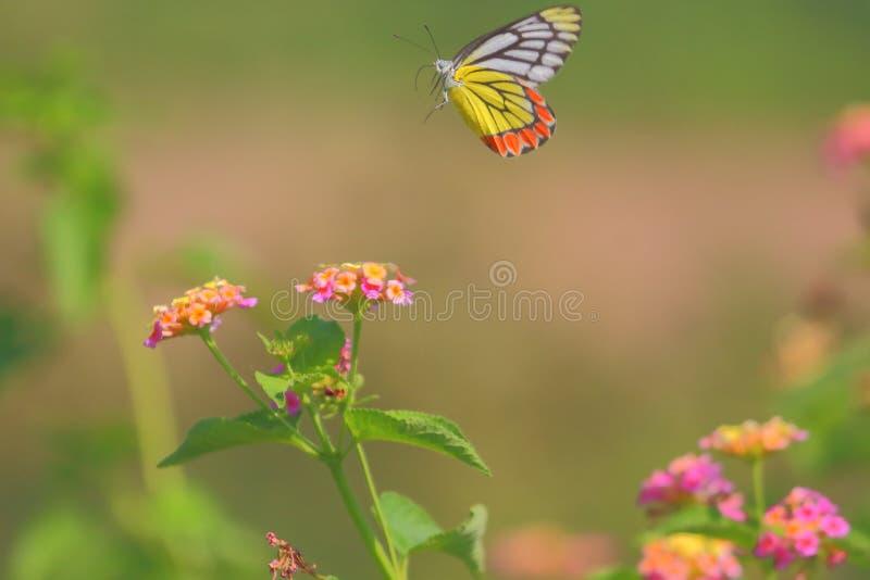 Vliegende vlinder stock afbeelding
