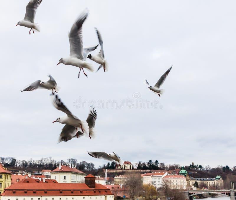 Vliegende Voedende Zeemeeuwen over Vltava dichtbij Charles Bridge stock fotografie