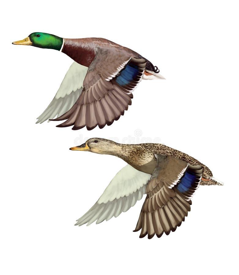 Vliegende Wilde eenden stock illustratie
