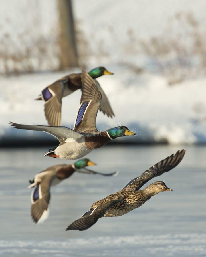 Vliegende Wilde eendtroep stock fotografie