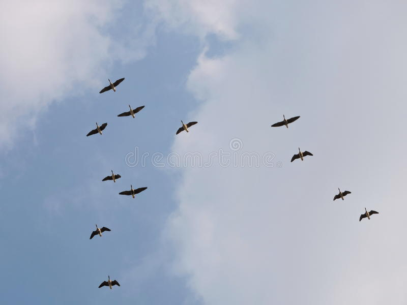 Vliegende wilde gans, Litouwen royalty-vrije stock foto