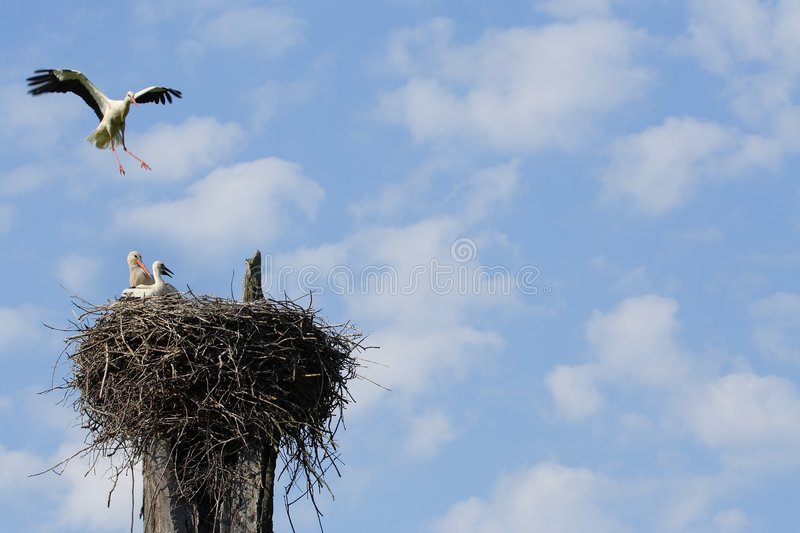 Vliegende witte ooievaar royalty-vrije stock foto's
