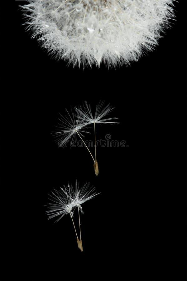 Vliegende zaden van tot bloei komende paardebloem royalty-vrije stock afbeeldingen