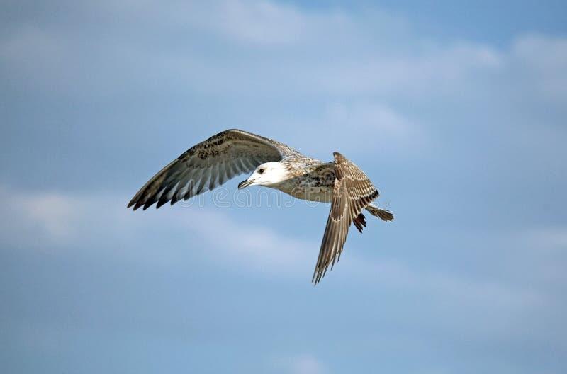 Download Vliegende zeemeeuw stock foto. Afbeelding bestaande uit vlucht - 10776718