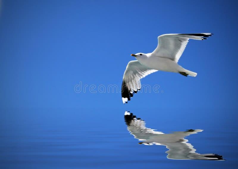 Vliegende zeemeeuw stock afbeeldingen