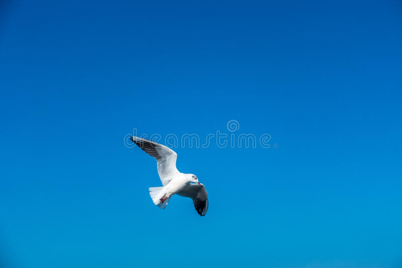 Vliegende zeemeeuw royalty-vrije stock afbeelding