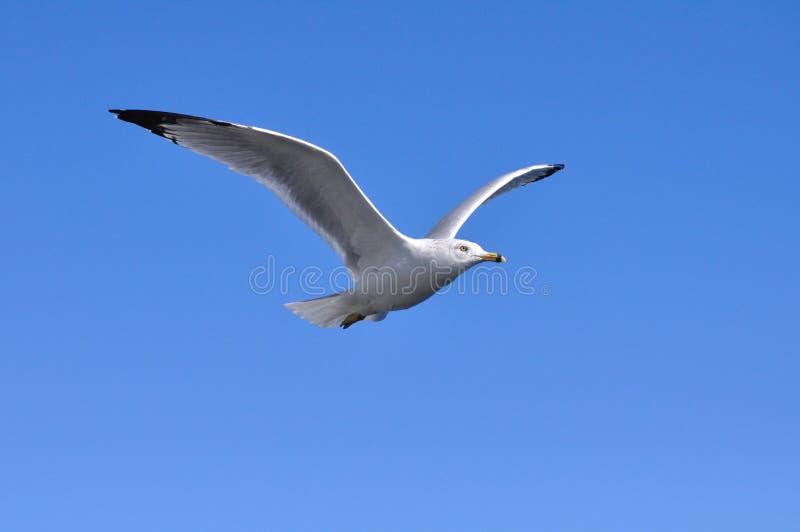 Vliegende Zeemeeuw stock foto's