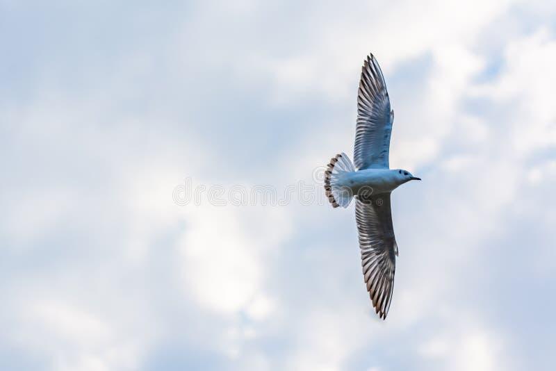 Vliegende zeemeeuw in een bewolkte hemel stock afbeeldingen