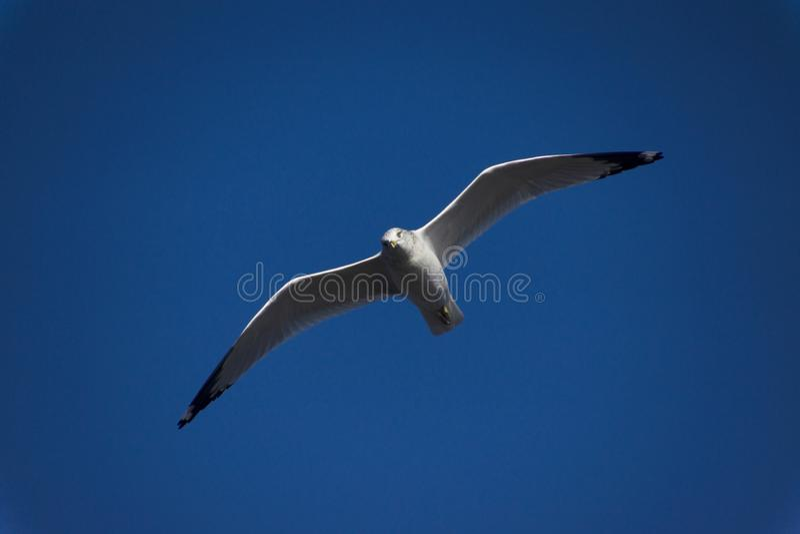 Vliegende Zeemeeuw in een Blauwe Hemel stock foto