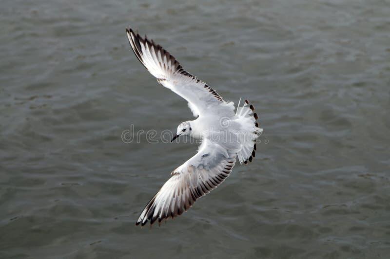 Vliegende zeemeeuw, hoogste mening stock foto
