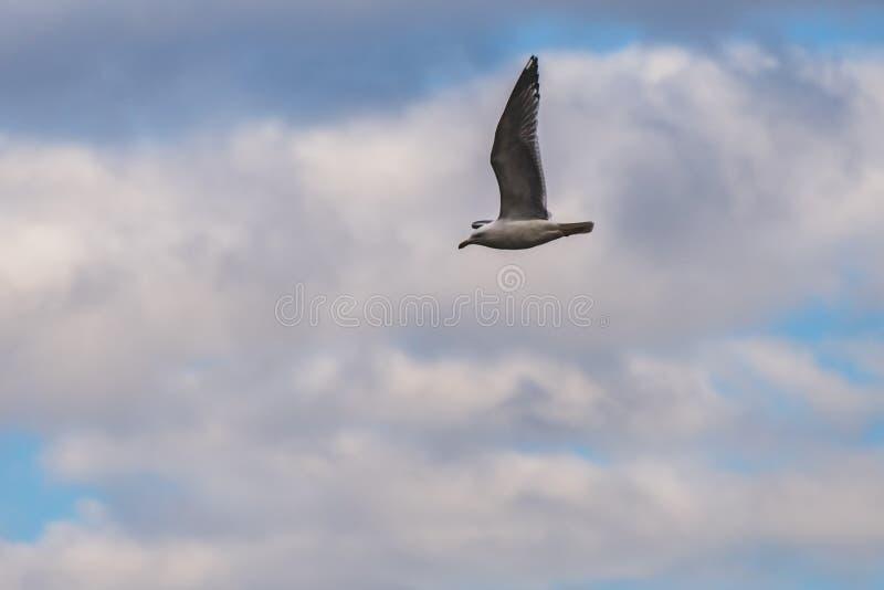 vliegende zeemeeuw met perfecte uitbreiding van de vleugel stock afbeeldingen