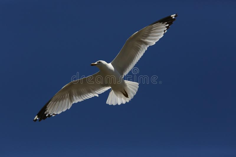 Vliegende zeemeeuw op de hemel royalty-vrije stock foto's