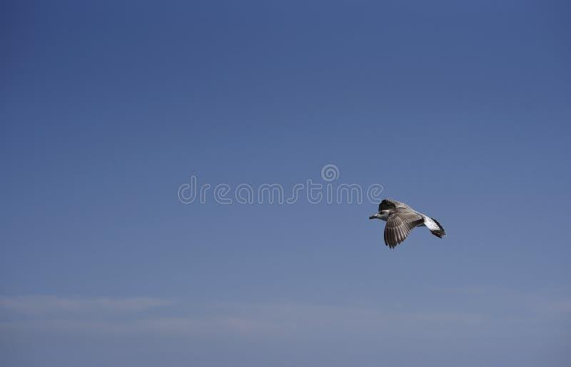 Vliegende zeemeeuw tegen een blauwe hemel royalty-vrije stock foto