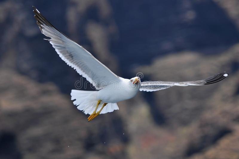 Vliegende zeemeeuw voor Bergen royalty-vrije stock foto