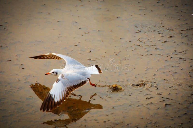 Vliegende zeemeeuwen in actie in Bangpoo royalty-vrije stock foto
