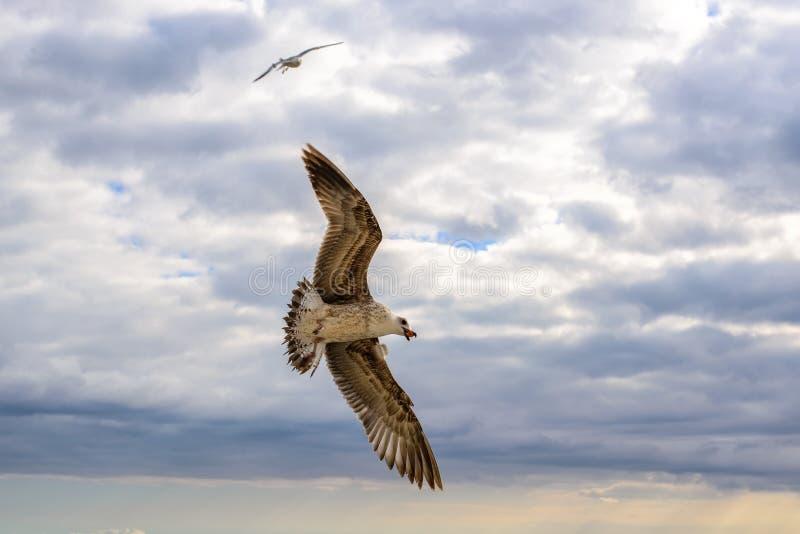 Vliegende zeemeeuwen in de hemelzomer in de Krim royalty-vrije stock afbeelding