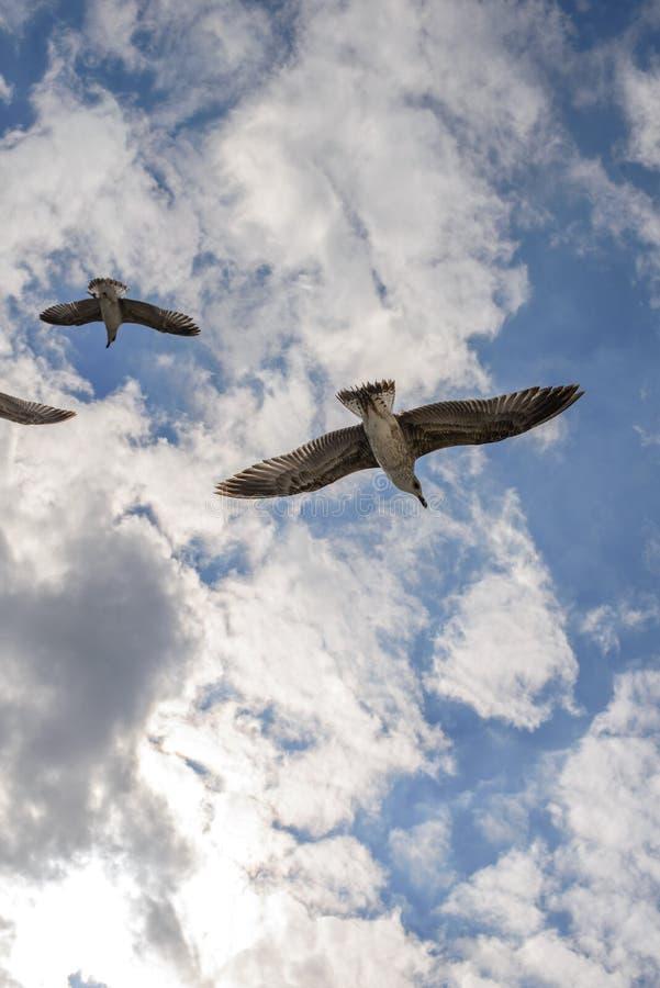 Vliegende zeemeeuwen in de hemelzomer in de Krim royalty-vrije stock afbeeldingen