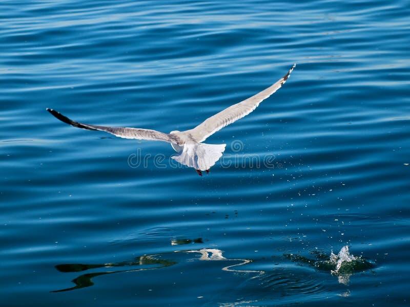Vliegende zeemeeuwvogel over blauw water royalty-vrije stock fotografie