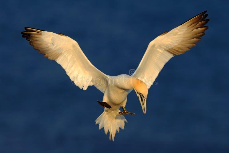 Vliegende zeevogel, Noordelijk jan-van-gent, Sula-bassana, het landende overzees van Turkije, met donkerblauw zeewater op de acht royalty-vrije stock fotografie