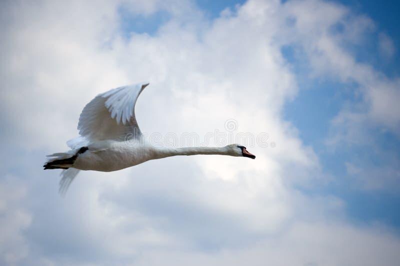 Vliegende zwaan royalty-vrije stock afbeelding