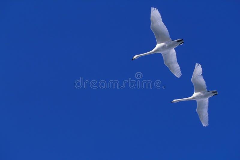 Vliegende Zwaan Stock Afbeelding