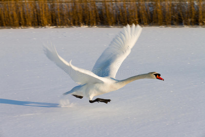 Vliegende zwaan in de winter royalty-vrije stock afbeelding