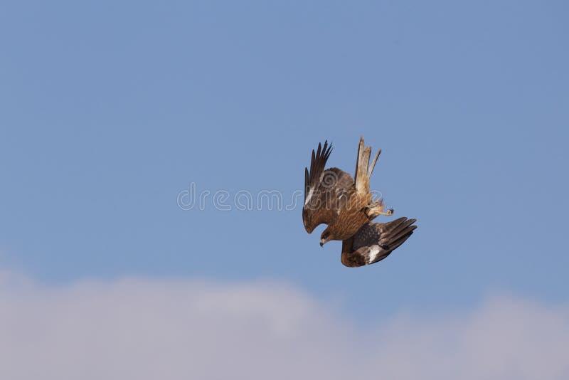 Vlieger die in de Hemel duikt royalty-vrije stock afbeeldingen