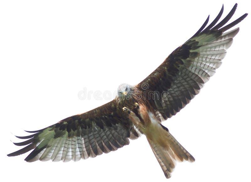 Vlieger - vogel portret